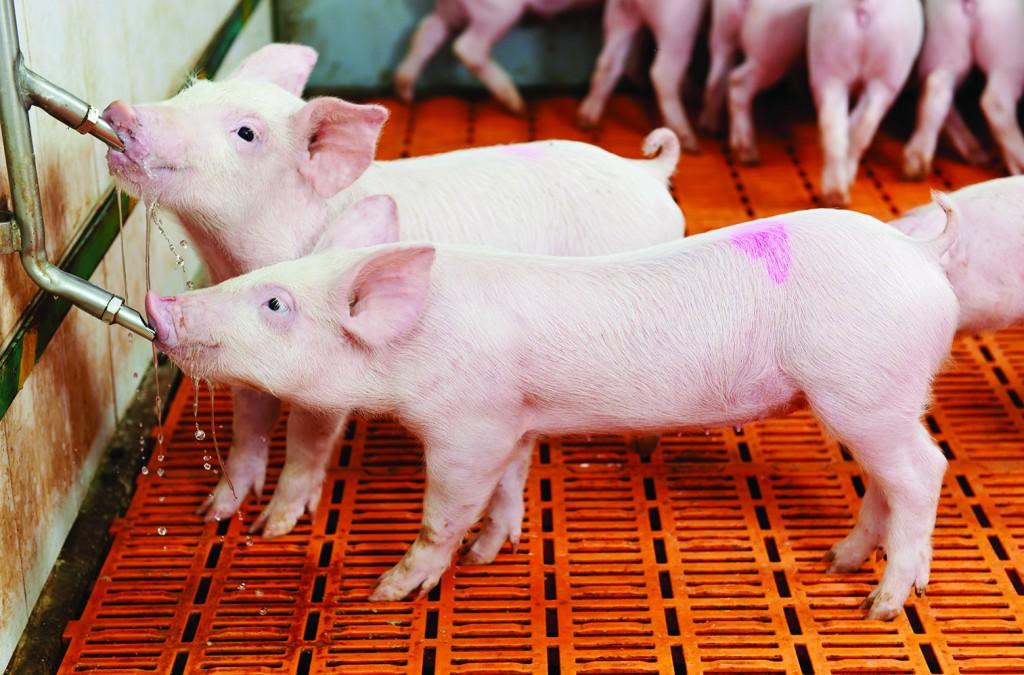 shutterstock_126738341-piglets